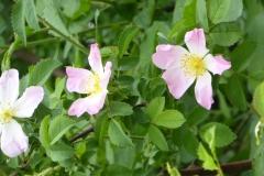 églantine rosa canina