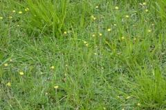 hieracium fleurs