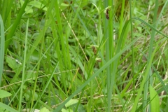 ophrys moucheron