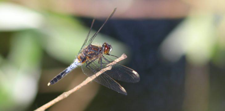 Sortie Odonates et soirée Papillons de nuit