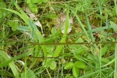 pimprenelle feuilles